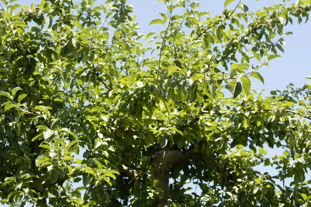 Looking up at an orchard tree