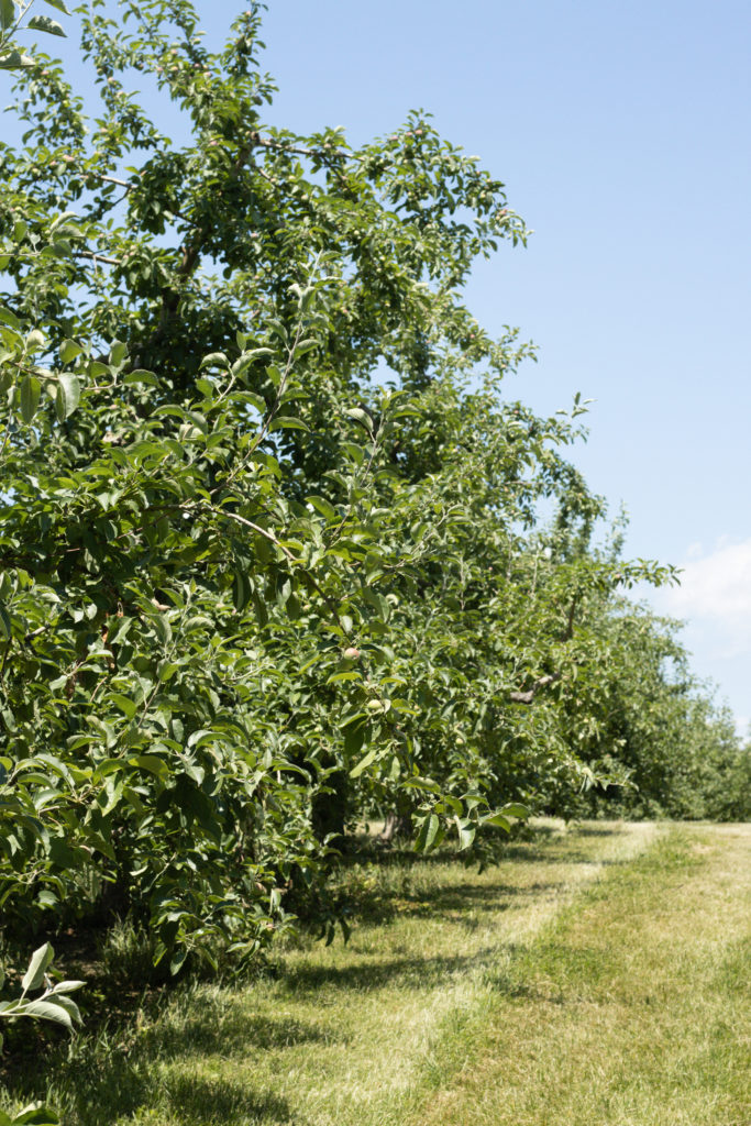 Orchard row at Angry Orchard in Walden, NY